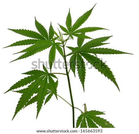 Young cannabis plant marijuana plant on white background - stock photo