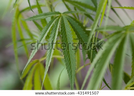 Young cannabis plant marijuana.Young cannabis plant marijuana plant detail. - stock photo