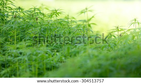 Young cannabis plants. - stock photo