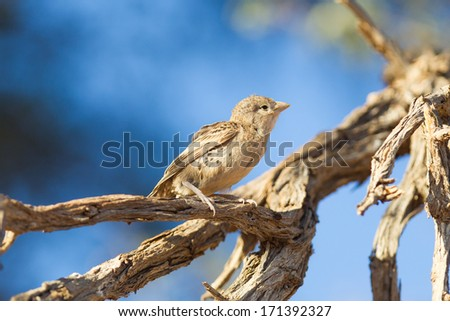 Young Cape Sparrow (Passer melanurus), a common species in Namibia - stock photo