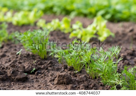 Young carrot plant sprouting out of soil on a vegetable bed. Shot with shallow depth of field. - stock photo