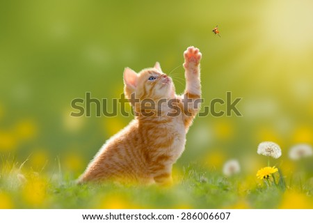 Young cat / kitten hunting a ladybug with Back Lit - stock photo