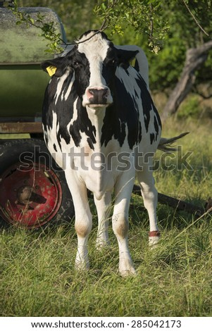 young cattle cows on a meadow, ecologically sustainable farming - stock photo