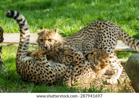 young cheetah - stock photo