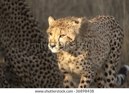 Young cheetah cub illuminated by sunlight shows glowing orange eyes. The cheetah (acinonyx jubatus) is a member of the cat family (felidae). It is the fastest land mammal. - stock photo