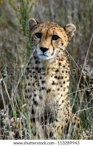 Young cheetah cub in long grass, looking at the camera, Namibia - stock photo