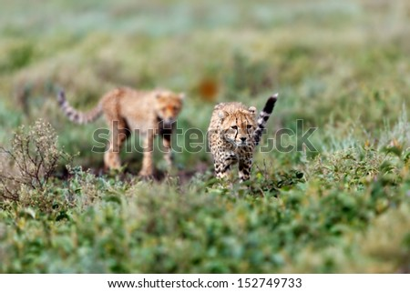 Young Cheetah follows his mother on the way to hunt in the Serengeti - stock photo