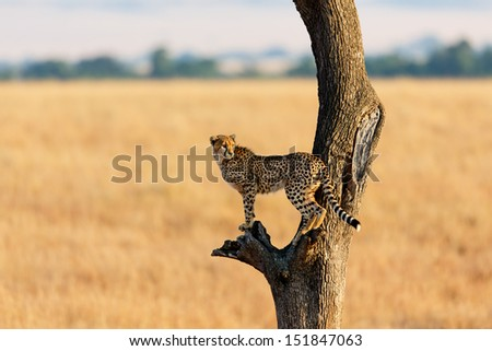 Young Cheetah in the tree in Masai Mara, Kenya - stock photo