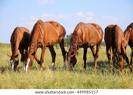 Young chestnut foals and mares grazing peaceful at typical hungarian countryside puszta summertime - stock photo
