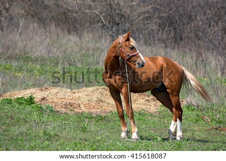 Young chestnut stallion on pasture on a farm - stock photo