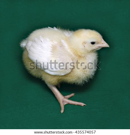 Young chick broiler on a green background - stock photo