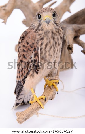 young chick hawk sitting on a wooden driftwood on a white background - stock photo