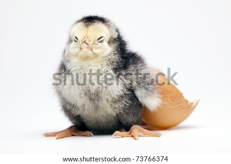 Young Chick Portrait - stock photo
