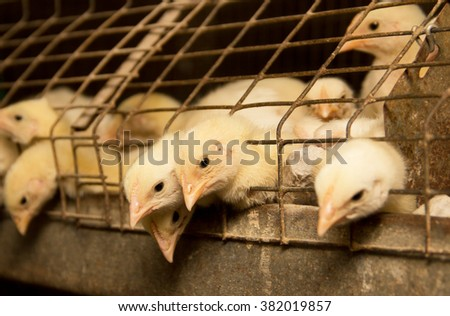 Young chickens in a cage on a chicken farm - stock photo
