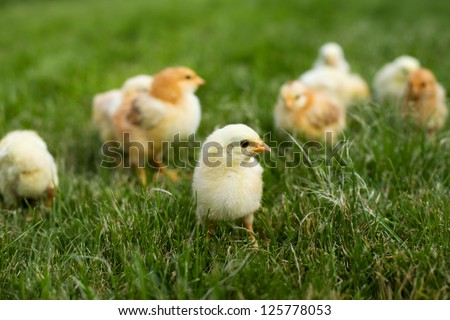 Young chickens in the renewing grass layer in spring - stock photo