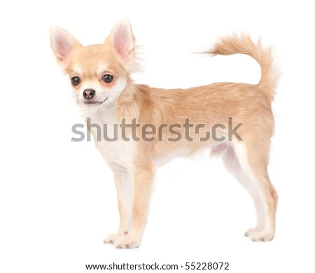 young chihuahua dog isolated on white - stock photo