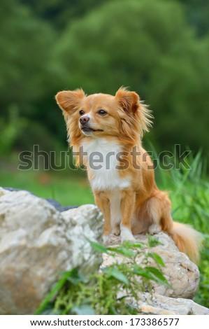 young chihuahua dog sitting - stock photo