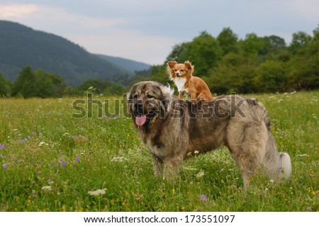 young chihuahua dog with caucasian shepherd - stock photo