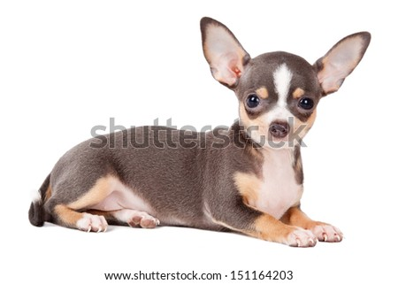 Young Chihuahua looking at the camera in a head shot, against a white background - stock photo