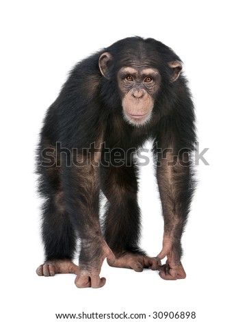 Young Chimpanzee looking at the camera - Simia troglodytes (5 years old) in front of a white background - stock photo