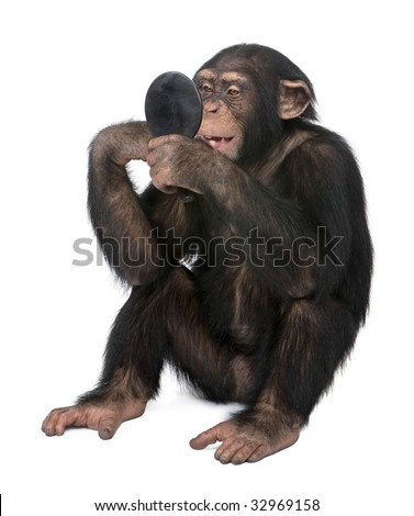 Young Chimpanzee looking himself at the mirror in front of a white background - stock photo