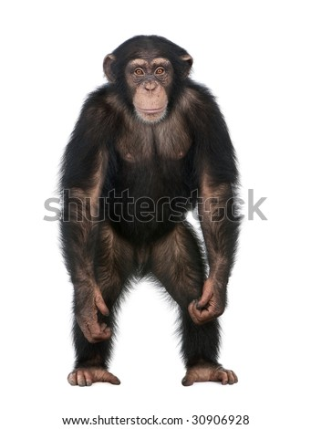 Young Chimpanzee standing up like a human - Simia troglodytes (5 years old) in front of a white background - stock photo