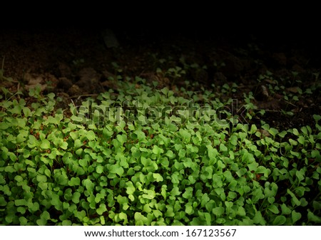 young Chinese Broccoli plant in nursery background - stock photo