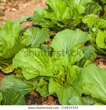 young chinese cabbage field - stock photo