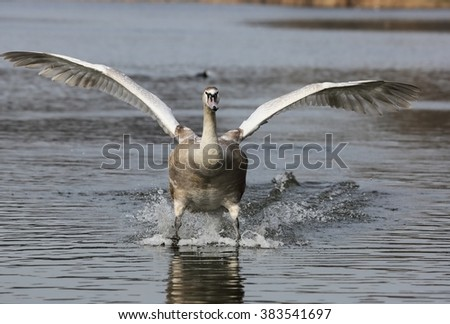 Young clumsy Mute Swan (Cygnus olor) is landing on water. - stock photo