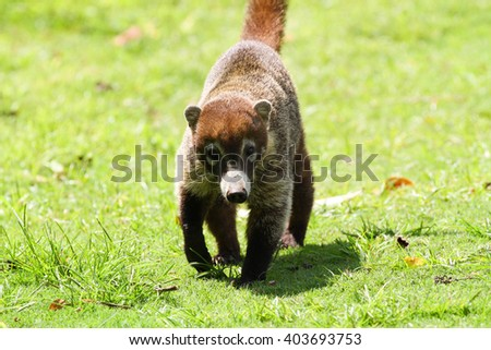 Young Coati walking towards the camera in the forests of Panama - stock photo