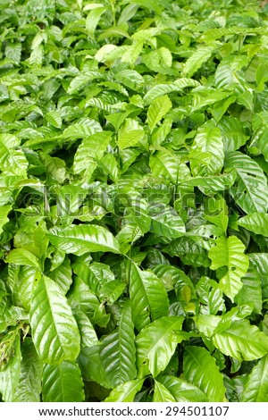 young coffee tree plant in Coffee plantation - stock photo