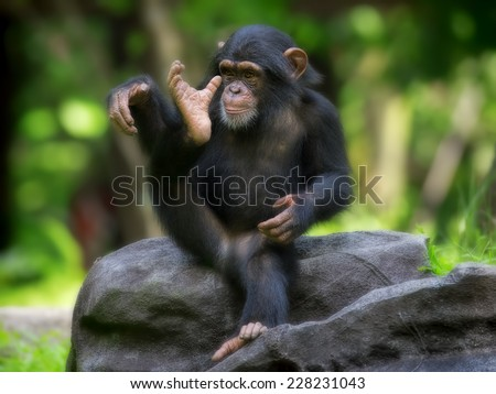 Young Common Chimpanzee sitting in the wild - stock photo