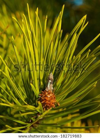 Young cone between many needles in sunny spring morning - stock photo