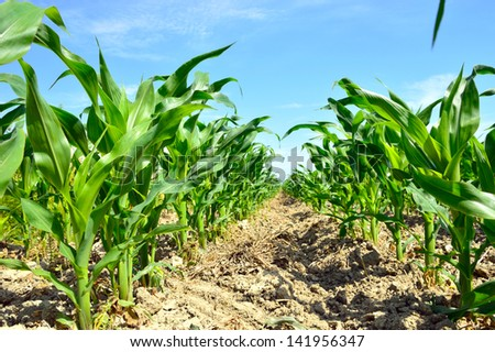 young corn on a plantation in the Delta del Po, Rovigo, Veneto, Italy - stock photo
