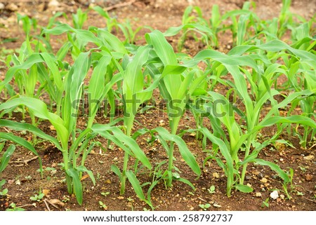 Young corn tree. - stock photo