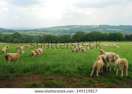 Young Cotswold sheep in a green field in England - stock photo