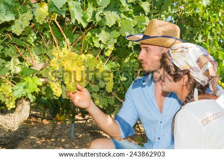 Young couple, vine growers, inspecting the fresh grape crop in the vineyard. - stock photo
