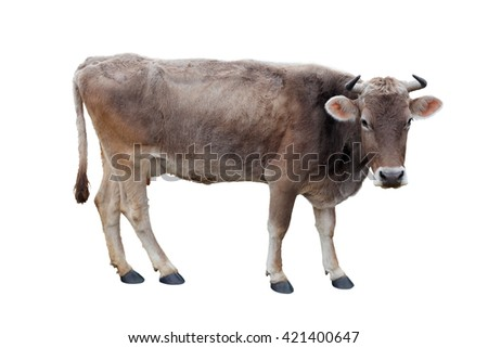 young cow on a white background - stock photo