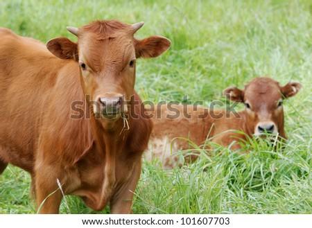 Young cows, calves, in a green meadow - stock photo