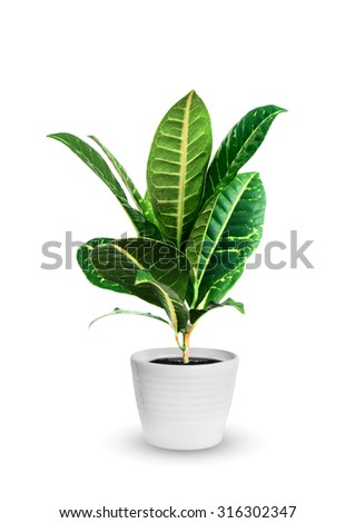 young croton (codieum) a potted plant isolated over white - stock photo