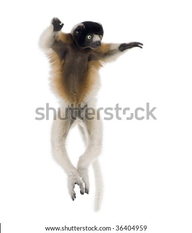 Young Crowned Sifaka, Propithecus Coronatus, 1 year old, dancing in front of white background, studio shot - stock photo