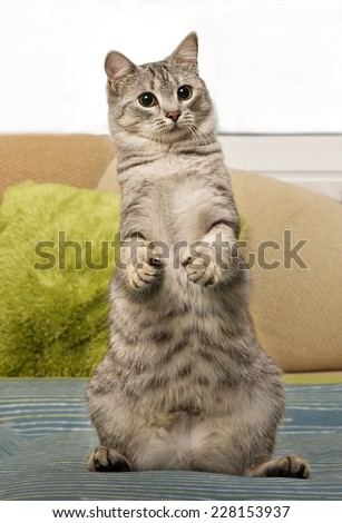 Young curious cat standing on a sofa, cute funny cat close up, domestic cat, funny cat in domestic background, cat standing, curious cat standing on 2 legs, standing cat, playing cat - stock photo