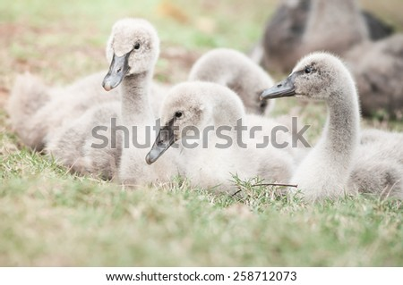 Young cute goslings on grass. - stock photo