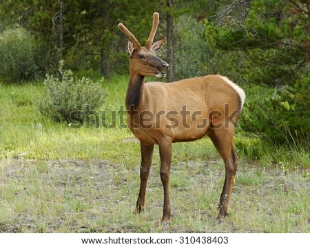 Young deer in Jasper National Park, Canada - stock photo