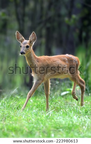 Young deer in summer forest - stock photo
