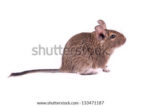Young degu isolated - stock photo