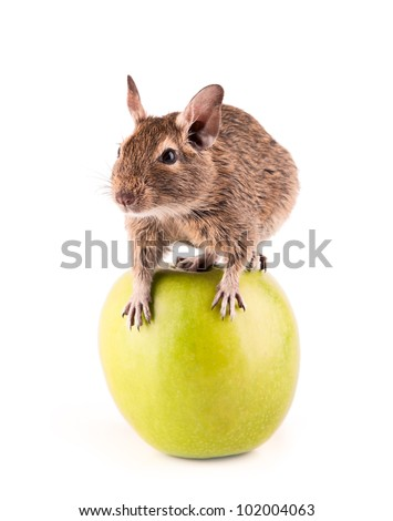 Young degu sitting on the apple (4 month) - stock photo
