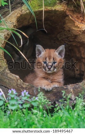 young desert lynx in front of den - stock photo