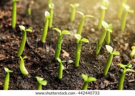 Young desert rose sprout growing in flowerpot with sun flare light. growing concept. - stock photo