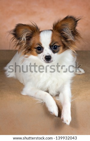 Young dog of breed papillon on a  beige background - stock photo